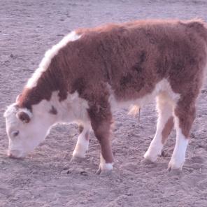 Calf grazing